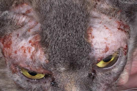 Food allergy in feline