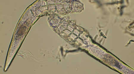 Demodex canis mite adjacent to hair root