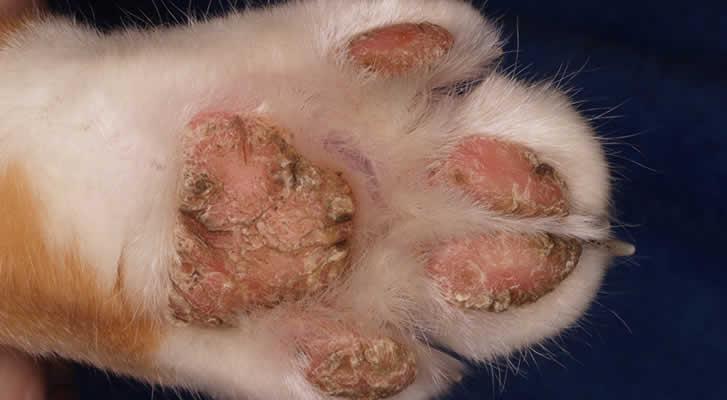 Footpad Hyperkeratosis