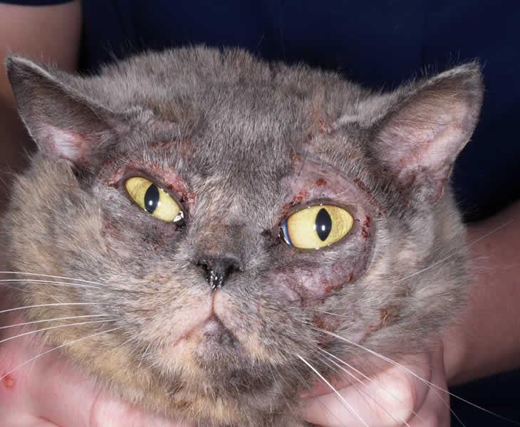 Food Allergy in Cat