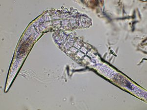 Demodex canis Mites from Skin Scraping