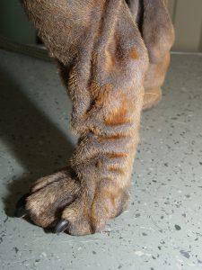 Demodicosis Dermatitis