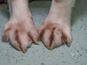 Saliva Staining of Feet in Allergic Dog