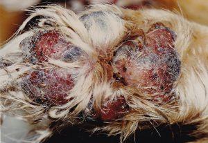 Ulceration of Footpads in Pemphigus vulgaris