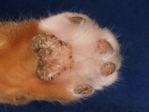 Steroid-Responsive Footpad Hyperkeratosis in a Ca