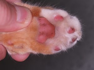 Steroid-Responsive Footpad Hyperkeratosis in a Cat After Treatment