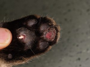Feline Calicivirus Pododermatitis